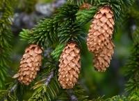 Latvijas egles (Picea abies L.) ēteriskā eļļa