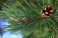 Latvijas priedes (Pinus sylvestris L.) ēteriskā eļļa