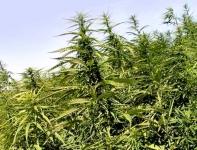 Latvijas kaņepes  (Cannabis sativa L.) ēteriskā eļļa