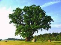 Tavs koks